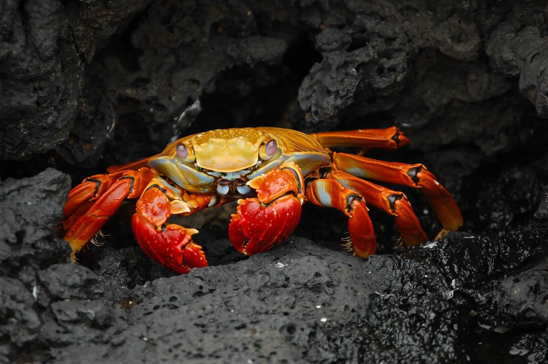 crab-63084_1920